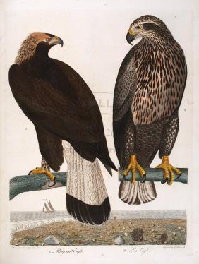 American Ornithology; Or The Natural History of the Birds of the United States